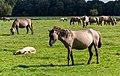 Merfeld, Merfelder Bruch, Dülmener Wildpferde -- 2012 -- 7831.jpg