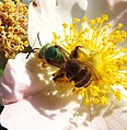 Metallic green sweat bee at work on a wild rose (27158491084).jpg