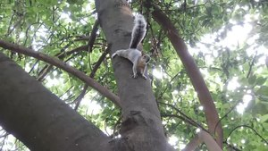 File:Mexican gray squirrel (Sciurus aureogaster) in Chapultepec Park, Mexico City - 1.webm