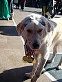Michael phelps dog (2957640810).jpg