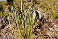 Mimosa phyllodinea.jpg
