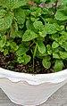 Mint plants.jpg