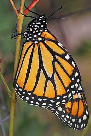 Monarch - Danaus plexippus, Meadowood Farm SRMA, Mason Neck, Virginia - 21290833050.jpg