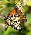 Monarch Butterfly Danaus plexippus Mating 2150px.jpg
