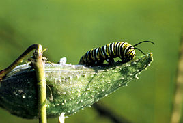 Monarchcatterpillarsm.jpg