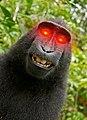 Monkey selfie laser eyes.jpg