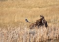 Moose and black billed magpie on Seedskadee National Wildlife Refuge (33302993730).jpg