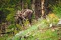 Moose under the trees (Unsplash).jpg