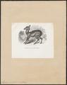 Moschus moschiferus - 1700-1880 - Print - Iconographia Zoologica - Special Collections University of Amsterdam - UBA01 IZ21500208.tif