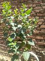 Mulberry plant in sun light.jpg