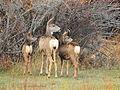 Mule Deer Doe and Fawns SW Wyoming (23204526004).jpg