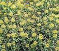 Mulinum spinosum, the prickly Neneo bush. (9089862364).jpg