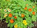 Multi coloured nasturtium bed.jpg