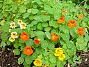 Multi coloured nasturtium bed