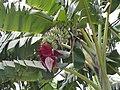 Musa acuminata in india01.jpg