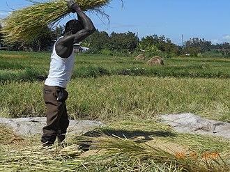 Kirinyaga County - Rice threshing in Mwea