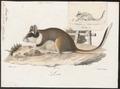 Myoxus nitela - 1700-1880 - Print - Iconographia Zoologica - Special Collections University of Amsterdam - UBA01 IZ20400195.tif