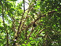 Myrciaria Cauliflora3.JPG