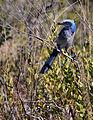 NASA Kennedy Wildlife - Florida Scrub Jay (5).jpg