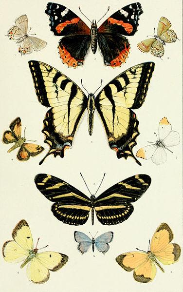 File:NIE 1905 Butterflies and Moths - American butterflies.jpg
