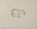 NL-HlmNHA 53004657 01 Capibara.tif