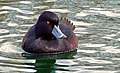 NZ Scaup Black Teal (29270527402).jpg