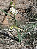Flowers of Narcissus dubius