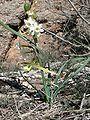 Nadala Menuda (Narcissus Dubius) 02.JPG