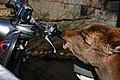 Nara Deer Sucking Motorcycle handlebar in 2013.jpg