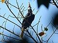 Narcondam Hornbill DSCN2147 18.jpg