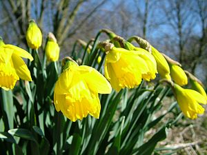 Daffodils in Spring just before full bloom