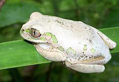 240px natal forest treefrog bazely