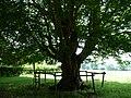 Naturdenkmal Hainbuche Döhren Melle -Unterm Baum- Datei 3.jpg