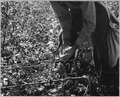 Near Coolidge, Arizona. White cotton picker gathers the lint. - NARA - 522237.tif