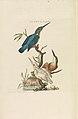 Nederlandsche vogelen (KB) - Alcedo atthis (285pl).jpg