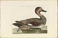 Nederlandsche vogelen (KB) - Anas strepera (314b).jpg