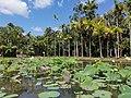 Nelumbo nucifera pond Mauritius 2019-09-27.jpg