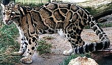 Leopardo-nebuloso no Zoológico de Nashville, em Grassmere
