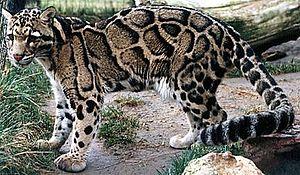 Neofelis - Clouded leopard (Neofelis nebulosa)