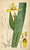 Neomarica brachypus 6380