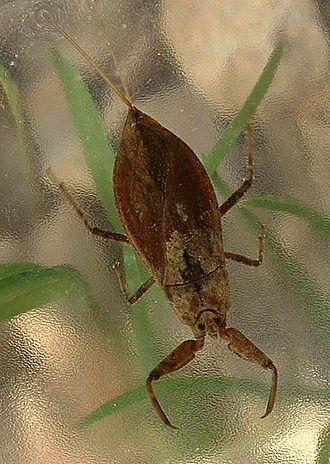 Nepomorpha - Nepa cinerea, a water scorpion