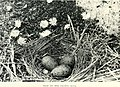 Nests and eggs of Australian birds, including the geographical distribution of the species and popular observations thereon (1901) (14748206321).jpg