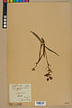 Neuchâtel Herbarium - Cephalanthera rubra - NEU000046816.jpg