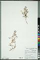 Neuchâtel Herbarium - Oxalis stricta - NEU000092978.jpg