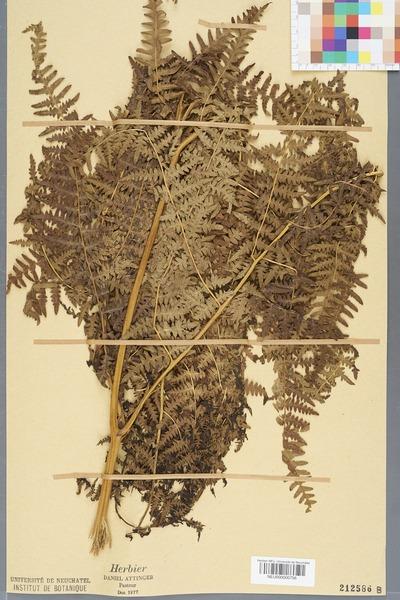 File:Neuchâtel Herbarium - Pteridium aquilinum - NEU000000756.tiff