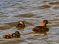 New Zealand Scaup (female) with chicks.jpg