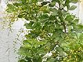 Ngâu (Aglaia duperreana) 3.JPG