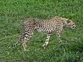 Ngorongoro (32) (13962074757).jpg