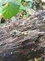 Nieuw Leeuwenhorst - Gewone boomwrat (Lycogala epidendrum).jpg