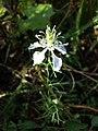 Nigella arvensis sl40.jpg